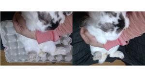 白いウサギの比較